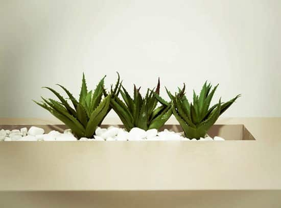 aloe vera plant uses for cold sores